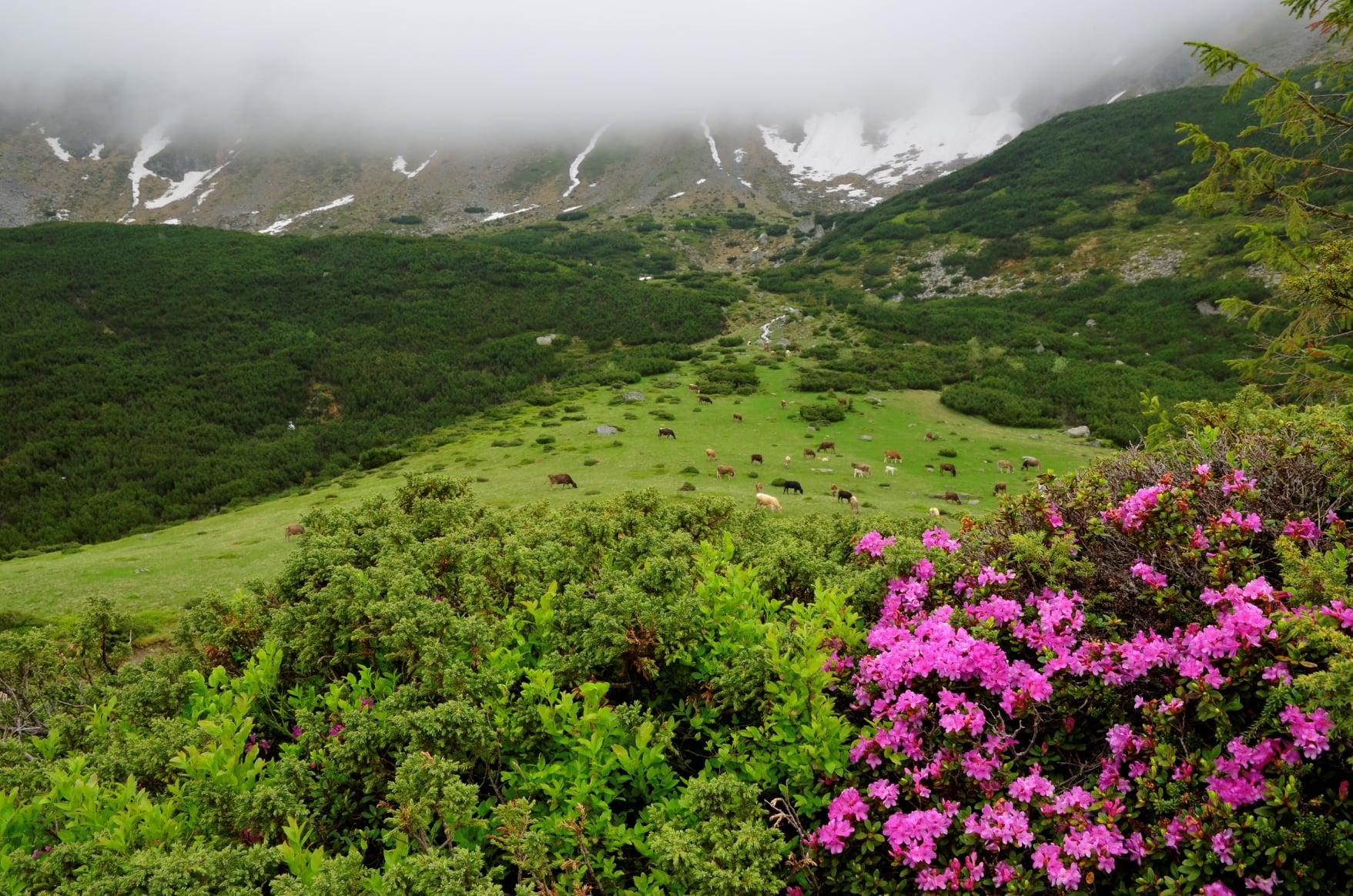 Bujori aproape de Poiana Știol - Mircea V. Grama
