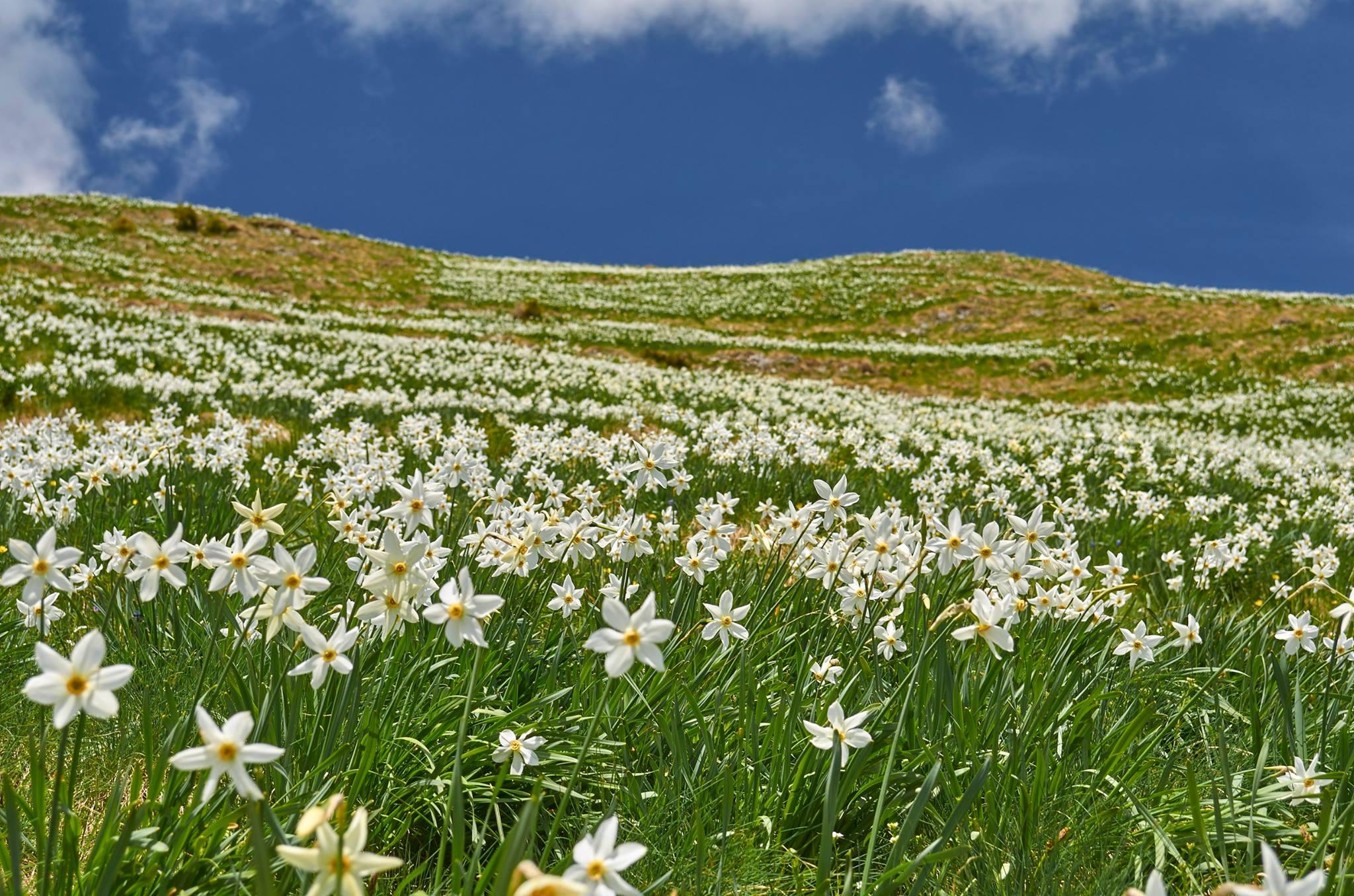 Poiana cu Narcise - Robert Dogaru