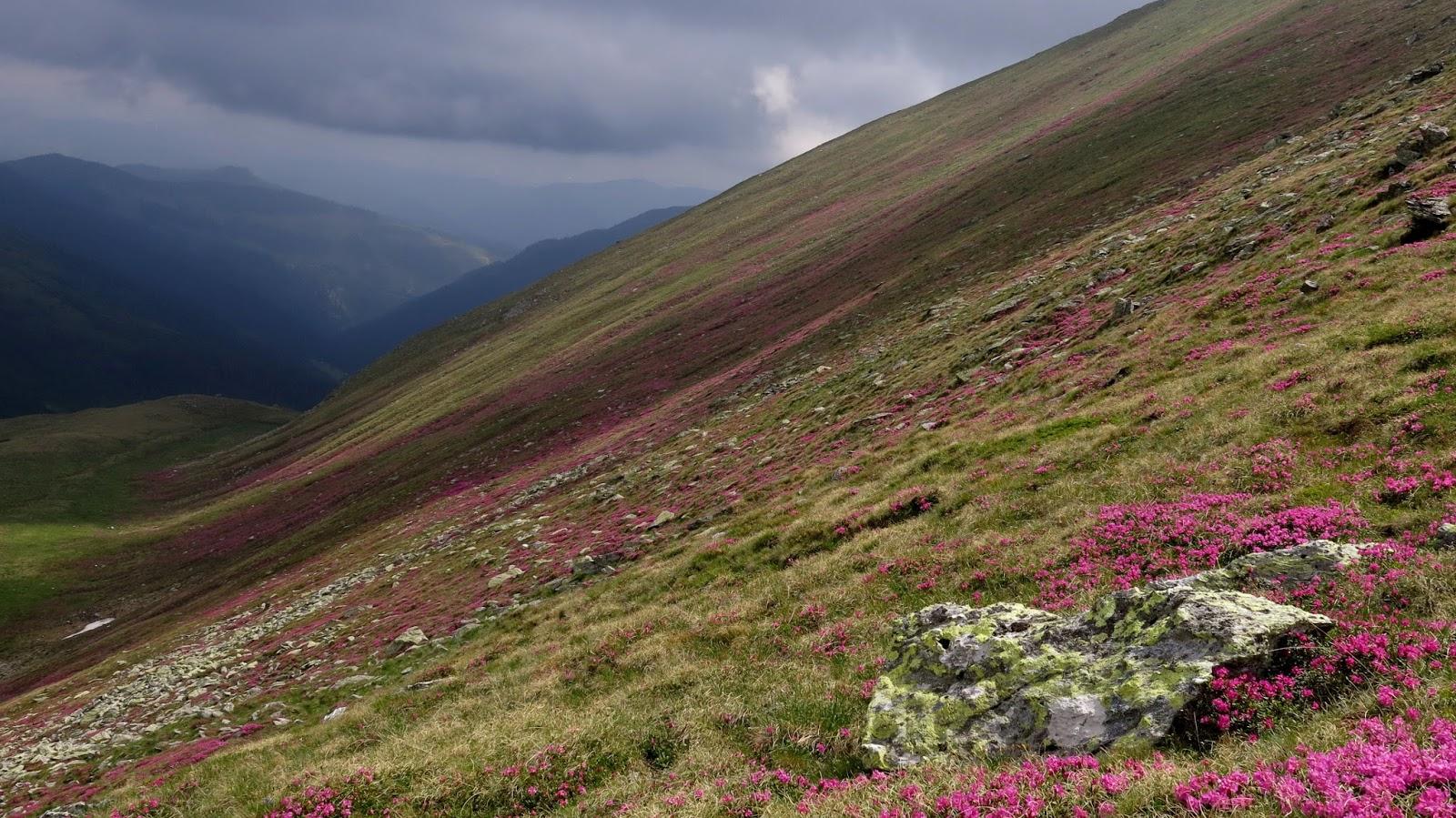 Covor de bujori de munte - Alina Cîrja