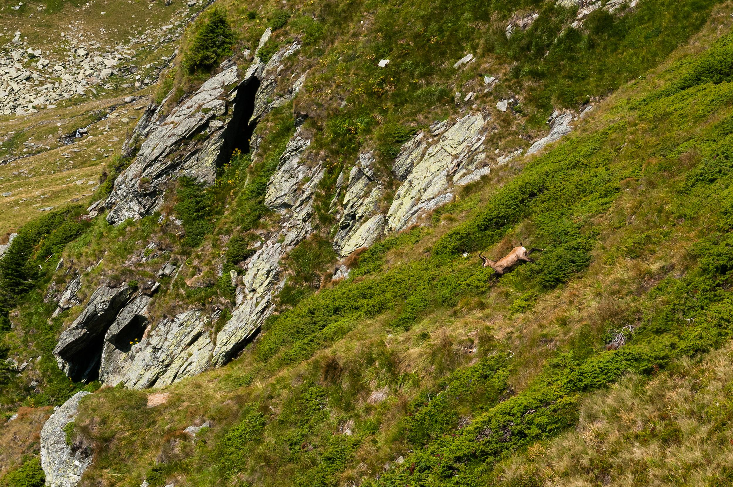 """O capră neagră """"zboara"""" pe sub stânci alergând în salturi mare spre Valea Lespezi."""