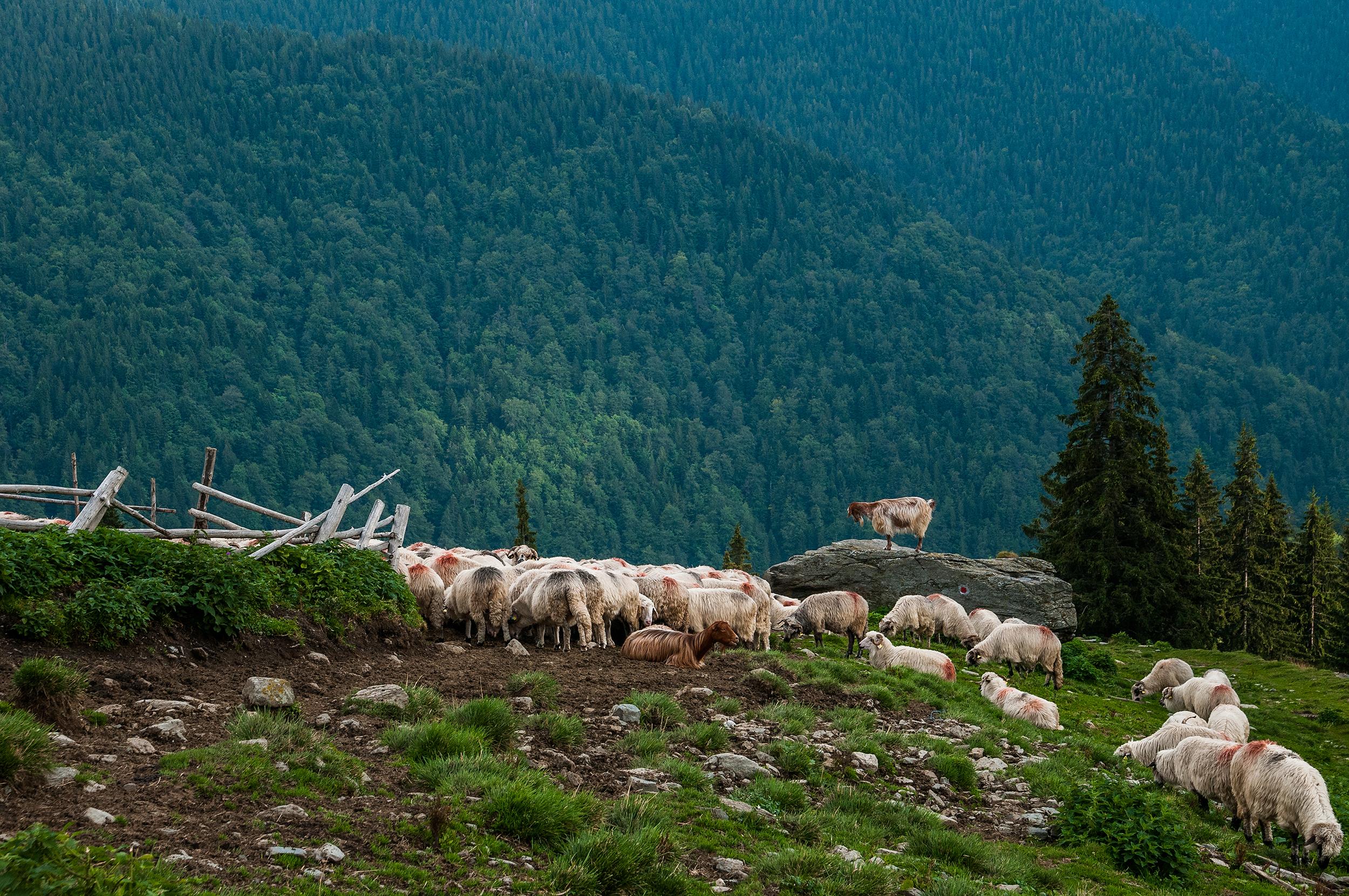 De data asta oile sunt la stână întoarse de pe pajiști.