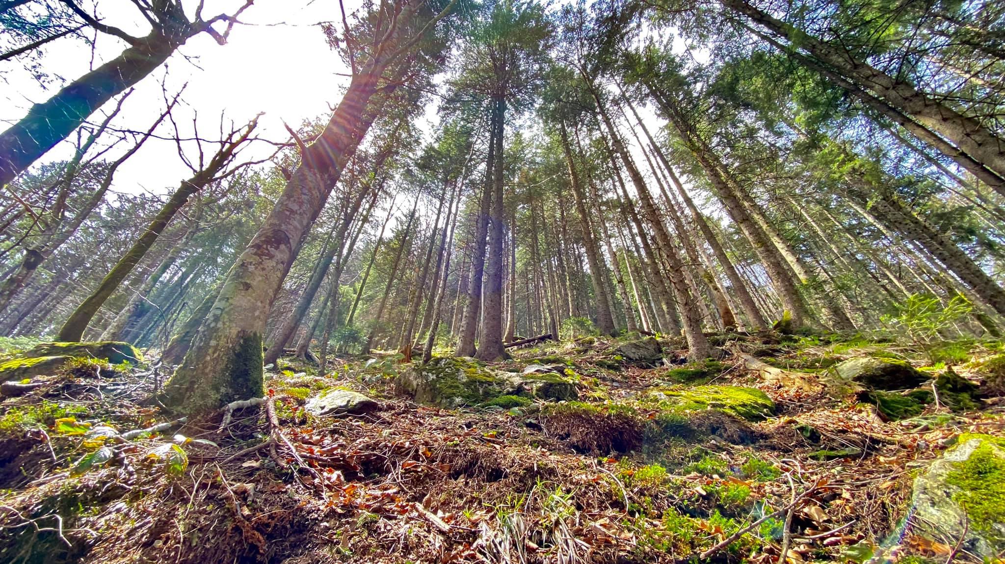 Padurea de conifere cu aer proaspat - Marius Popa