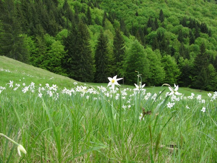 Rezervatia naturala Poiana cu Narcise Tomnatec Sehleanu