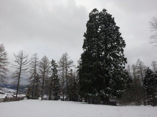 _13MN_img_05 Arborii de Sequoia.jpg