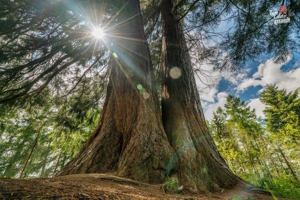 arborele de sequoia cluj 0