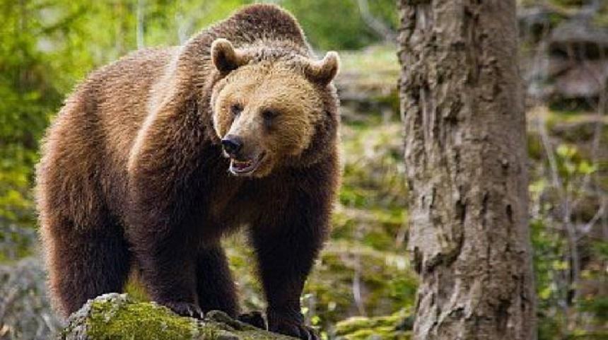 Urs în pădure
